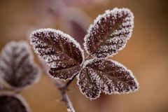 Close up of frozen plant Royalty Free Stock Photography