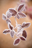 Close up of frozen plant Royalty Free Stock Photo
