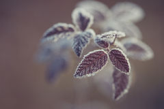 Close up of frozen plant Stock Photography