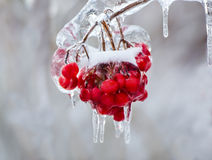 Close Up of Frozen Red Berries on a Tree Stock Photography