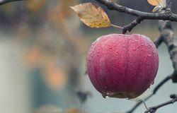 Close-up of Fruits Hanging on Tree Royalty Free Stock Photography