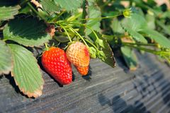 Strawberry. The close-up of fruits of strawberry Stock Photography