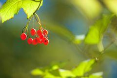 Red fruits. The close-up of fruits of Viburnum in the autumn Royalty Free Stock Photography