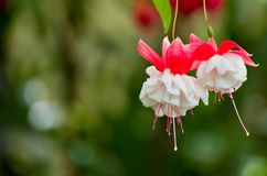 Close up Fuchsia flowers in Fitzroy Garden. stock photography