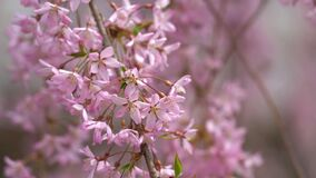 Close up full bloom beautiful pink cherry blossoms
