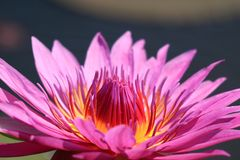 Close up of a Full Bloom Vibrant Purple Pink Lotus Flower in the Sunlight royalty free stock photo