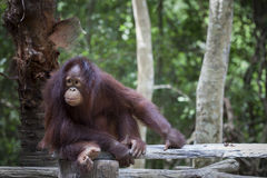 Close up full body and face of Borneo Orangutan Stock Images