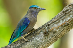 Close up full body of Indian roller Stock Photos