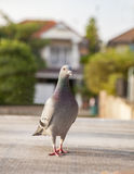 Close up full body of pigeon bird standing on home loft Stock Photo
