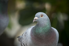 Close up full body of speed racing pigeon bird on g reen blur ba Royalty Free Stock Images
