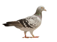 Close up full body of speed racing pigeon bird isolated white ba Royalty Free Stock Photo
