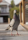 Close up full body of sport racing pigeon bird standing on home Stock Photos