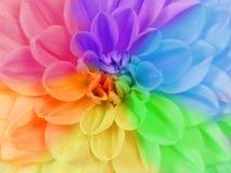 Close up full frame of a chrysanthemum flower in different colors. Close up full frame of a blooming chrysanthemum flower in different rainbow colors stock image