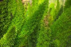 Close up full frame green pine leaf background Stock Photo