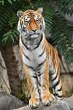 Close up front portrait of Siberian Amur tiger. Close up full length front portrait of one young Siberian tiger Amur tiger, Panthera tigris altaica standing on Royalty Free Stock Images