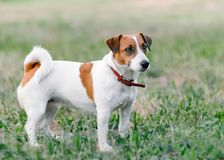 Close-up full-length portrait of adorable small white and brown dog jack russel terrier standing on glade and looking at right sid stock photography