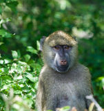 Close-up of a funny baboon. Monkey royalty free stock photo
