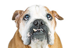 Close-up Funny Bulldog Lower Teeth Out Royalty Free Stock Photo