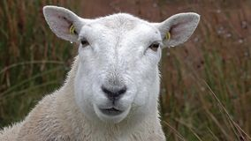 Close up of funny chewing sheep in the Highlands of Scotland. UK stock video footage