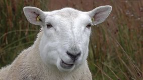 Close up of funny chewing sheep in the Highlands of Scotland. UK stock footage