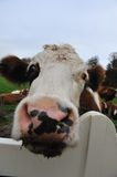 Close-up of a funny cow Stock Photography