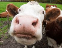 Close-up of a funny cow. On on farmland in the Netherlands stock images