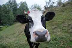 Close-up of a funny cow on farmland Royalty Free Stock Photography
