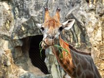 Close up Funny Face of a Giraffe Eating Grass Nature B. Closeup Funny Face of a Giraffe Eating Grass Nature Background royalty free stock photo