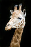 Close up funny giraffe Royalty Free Stock Image