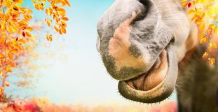 Close up of Funny horse face with open mouth at autumn nature background with foliage Royalty Free Stock Photos