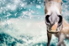 Close up of Funny horse face  at winter nature background with snow Stock Image