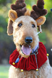 Close up funny happy large Airedale Terrier dog in Christmas costume. A closeup portrait image of head and shoulders shot large beautiful happy and smiling royalty free stock photos