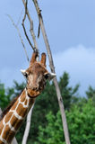 Close-up of funny looking giraffe. Stock photo Stock Images