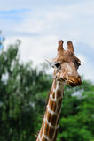 Close-up of funny looking giraffe. Stock photo Royalty Free Stock Photos