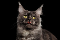 Close-up Funny Maine Coon Cat Surprised, show tongue, Isolated Black Stock Images