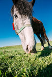 Close Up Of Funny Portrait On Wide Angle Lens Of Horse On Blue Sky Background Royalty Free Stock Photos