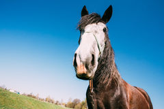 Close Up Of Funny Portrait On Wide Angle Lens Of Horse On Blue Sky Background Royalty Free Stock Photo