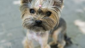 Close up funny puppy Yorkshire Terrier in the on a sidewalk in a park looking in a camera. royalty free stock photos