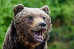 Free Close-up Funny Smile Brown Bear Portrait. Danger Animal In Nature Habitat Royalty Free Stock Image - 182458736
