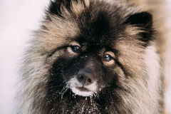 Close up of Funny Young Keeshond, Keeshonden dog in snow Royalty Free Stock Photo