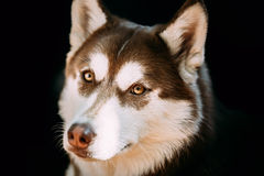 Close Up Funny Young White And Brown Husky Dog. Close Up Funny Young White And Brown Husky Eskimo Dog Stock Photography
