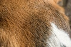 Close-up of the fur of a tricolor beagle royalty free stock photography