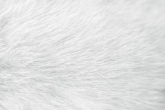 Fur white cat texture for background , Natural animal patterns skin. Close up fur white cat texture for background , Natural animal patterns skin royalty free stock photography