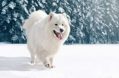 Close-up furry white Samoyed dog running on snow in winter. Day royalty free stock image