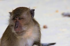 Close up of fury monkey face crab eating long tailed Macaque, Macaca fascicularis on  beach. Ko Lipe, Thailand royalty free stock photography