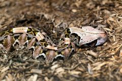 Close up of a Gaboon Viper. Close up detail of Gaboon ViperBitis gabonica, it has the longest fangs and highest venom yield of any snake royalty free stock images