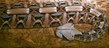 Close up of a Gaboon viper snake. Close up of a brown, tan, and blue-gray patterned Gaboon viper snake Stock Image