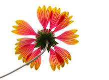 Close-up of gaillardia, isolated Stock Photography