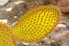 Close up of a Galapagos Cactus Royalty Free Stock Photography