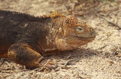 Close up of Galapagos Land Iguana Royalty Free Stock Photos